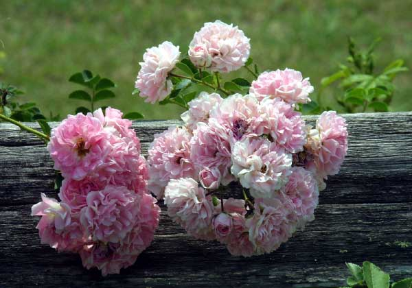 Seven Sisters Rose Bush